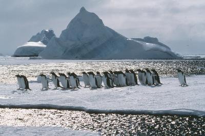 Gentoo Penguins-Doug Allan-Photographic Print