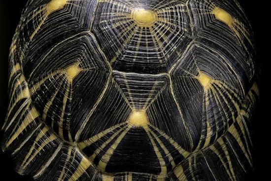 Geochelone Radiata (Radiated Tortoise)-Paul Starosta-Photographic Print