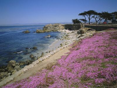 Carpet of Mesembryanthemum Flowers, Pacific Grove, Monterey, California, USA