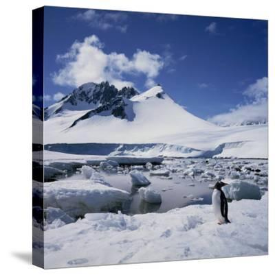 Single Gentoo Penguin on Ice in a Snowy Landscape, on the Antarctic Peninsula, Antarctica