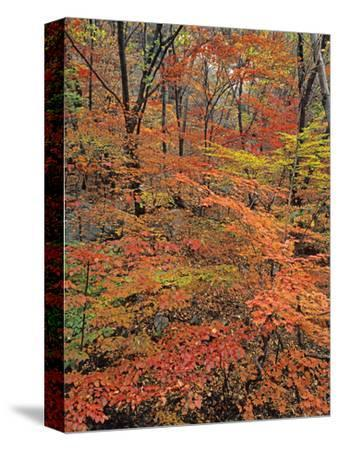 Maples at Peak Color in the Bukhaensan Forest Near Seoul, South Korea