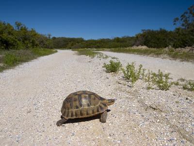 Geometric Tortoise (Psammobates Geometricus), West Coast, South Africa, Africa-Thorsten Milse-Photographic Print