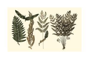 Fern Leaf Folio I by Georg C. Oeder