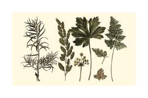 Fern Leaf Folio II by Georg C. Oeder