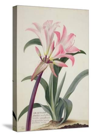 Amaryllis Belladonna, 1761