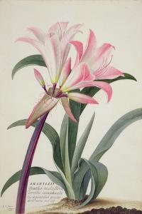 Amaryllis Belladonna, 1761 by Georg Dionysius Ehret