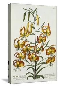 American Turkscap Lily, C.1740 by Georg Dionysius Ehret