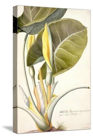 Arum Maximum Aegyptiacum, C.1740-45