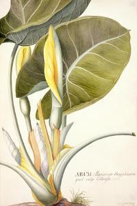 Arum Maximum Aegyptiacum, C.1740-45 by Georg Dionysius Ehret