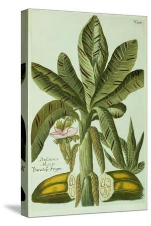 Banana, from J. Weinmann's Phytanthoza Iconographia, 1734-45