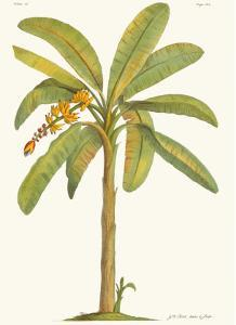 Banana Tree, 18th Century by Georg Dionysius Ehret
