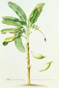 Banana Tree by Georg Dionysius Ehret