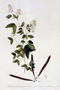 Bauhinia, C.1745 by Georg Dionysius Ehret