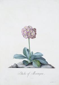 Botanical Illustration of a Primula: Duke of Monatague by Georg Dionysius Ehret
