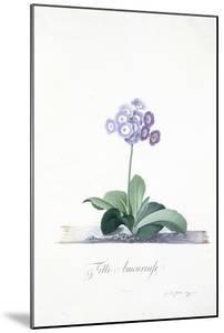 Botanical Illustration of a Primula: Fille Amoureuse by Georg Dionysius Ehret