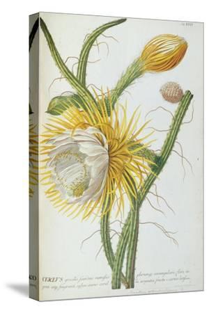 Cactus: Cereus, from Trew's 'Plantae Selectae' 1750-73