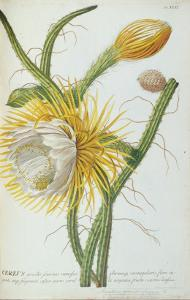 Cactus: Cereus, from Trew's 'Plantae Selectae' 1750-73 by Georg Dionysius Ehret