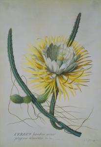 Cereus Cactus, A Botanical Illustration by Georg Dionysius Ehret