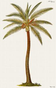 Coconut Palm Tree, 18th Century by Georg Dionysius Ehret