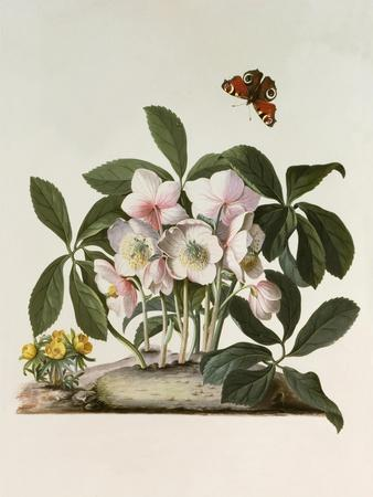 Helleborus Niger or Christmas Rose, Watercolour, 18th century