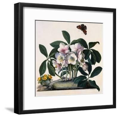 Helleborus Niger, Rose and Butterfly Lithograph