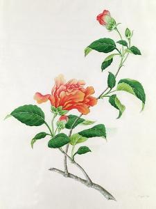 Hibiscus by Georg Dionysius Ehret