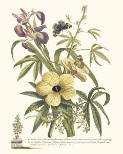 Ketmia, Iris and Alsine by Georg Dionysius Ehret