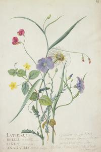 Lathyrus Nissolia, Chrysanthemum Leucanthemum, Linum Perenne, Lysimackia Nemorum, 1767 by Georg Dionysius Ehret