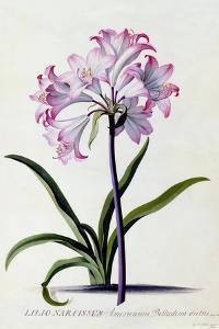 Lilio Narcissus, C.1744 by Georg Dionysius Ehret
