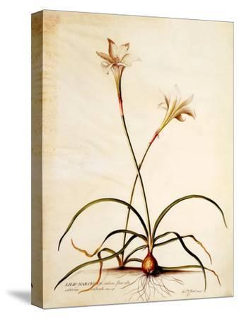 Lilio Narcissus, C.1745