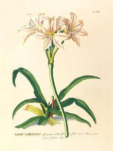 Lilio-Narcissus by Georg Dionysius Ehret