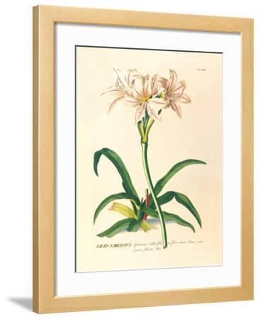 Lilio-Narcissus