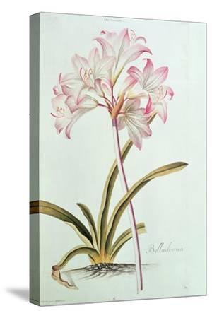 Lily: Lilium Belladonna, (Pl.12) from Trew's Hortus Nitidissumus 1, 1750