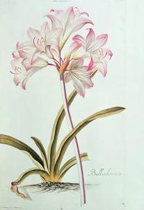 Lily: Lilium Belladonna, (Pl.12) from Trew's Hortus Nitidissumus 1, 1750 by Georg Dionysius Ehret