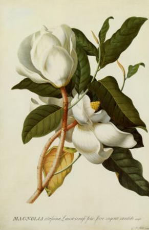 Magnolia Altissima