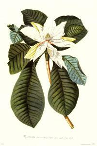 Magnolia Folis Oblongis by Georg Dionysius Ehret