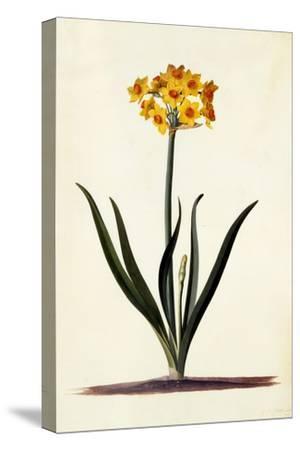 Narcissus, C.1745