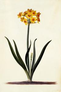 Narcissus, C.1745 by Georg Dionysius Ehret