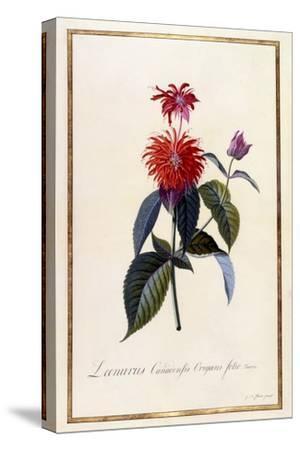 Oswego Tea Plant, C.1740