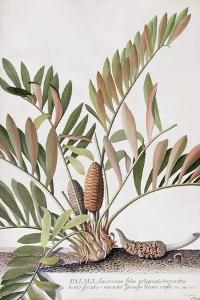 Palma Americana by Georg Dionysius Ehret