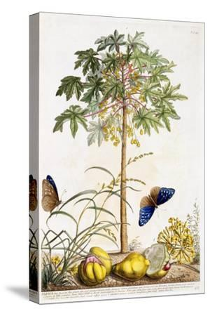 Papaya, C.1748