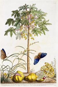 Papaya, C.1748 by Georg Dionysius Ehret