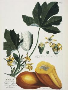Papaya; Carica Papaya by Georg Dionysius Ehret