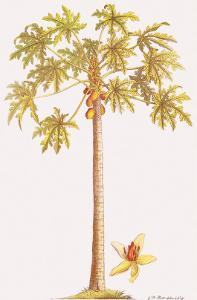 Papaya Tree, Botanical Illustration, 18th Century by Georg Dionysius Ehret