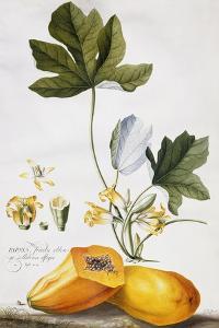 Papaya by Georg Dionysius Ehret