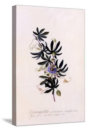 Passiflora Granadilla, C.1745