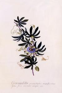 Passiflora Granadilla, C.1745 by Georg Dionysius Ehret