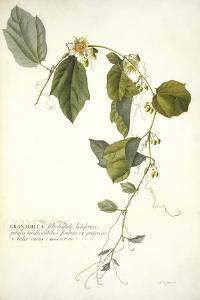 Passiflora Holosericea (Passion Flower) by Georg Dionysius Ehret