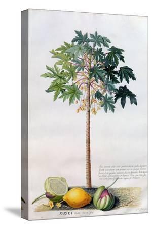 Pawpaw Tree, 1742