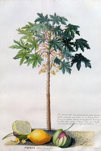Pawpaw Tree, 1742 by Georg Dionysius Ehret